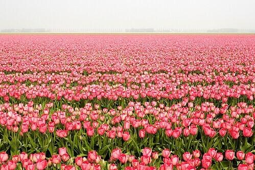 Hoa tulip nở rộ tại Noordoostpolder. Ảnh: Daoud Alahmad.