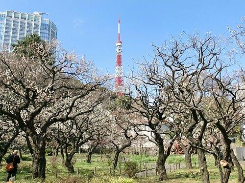 Ngọn tháp nổi bật trong khung cảnh vườn hoa mơ. Ảnh: Diary.
