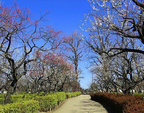 Công viên nổi tiếng với lễ hội hoa mơ hàng năm. Ảnh: Gotokyo.