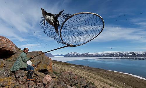 Số lượng loài chim Auk Alle ở khu vực Thule, Greenland được ước tính là 30 - 60 triệu con. Ảnh: Carsten Egevang.