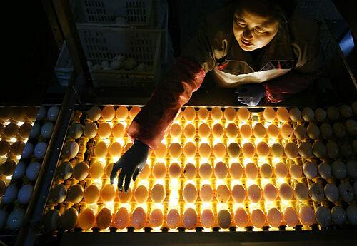 Trước khi có trang thiết bị hiện đại hơn, người nông dân Cao Bưu sẽ soi trứng vịt bằng nến. Ngày nay những trang trại lớn dùng băng chuyền lắp đèn, và nhiều nơi đang nghiên cứu các thuật toán để áp dụng công nghệ thị giác máy tính, nhận dạng trứng hai lòng. Ảnh:Alamy.