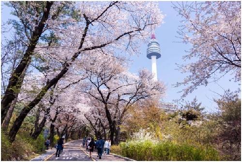 [Hoa anh đào ở tháp N Seoul.
