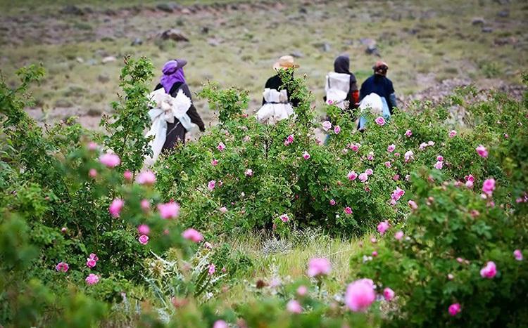 Người dân thu hoạch hoa hồng từ sáng tinh mơ, cho đến trước khi mặt trời lên đỉnh núi. Ảnh: Tasnim news.