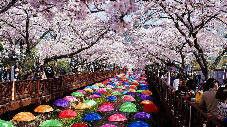 Cuối tháng 3, đầu tháng 4 là thời điểm hoa anh đào Hàn Quốc nở rộ. Ảnh: Asia Exchange.