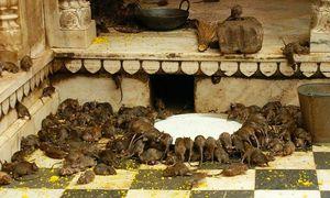 Bên trong đền thiêng có 25.000 con chuột