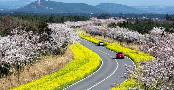 Cung đường ngập hoa cải vàng và hoa anh đào. Ảnh: Visit Jeju.