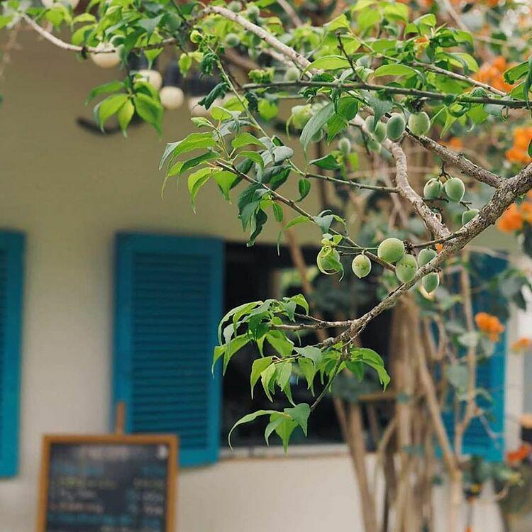 Những cây mơ trong vườn đã ra trái. Ảnh: Tâm Nguyễn.
