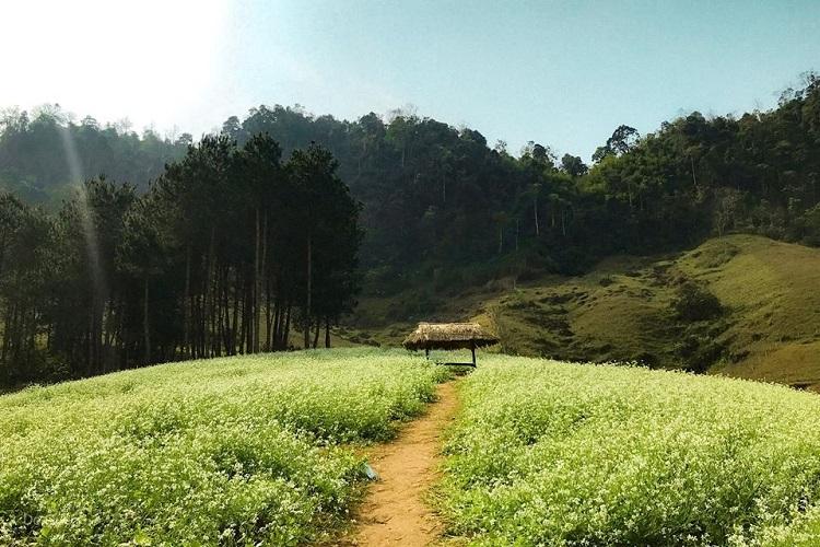 Vườn cải bản Lóng Luông, Mộc Châu