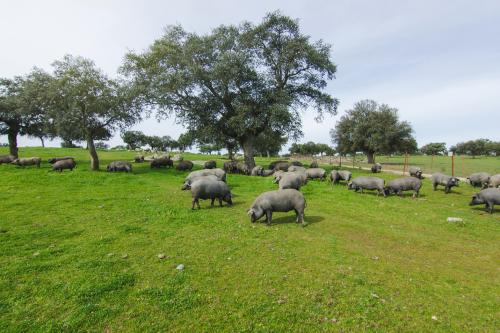 Heo đi kiếm ăn trên cánh đồng cỏ xanh rì.