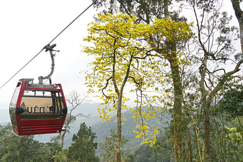 Những cây đại lão mai vàng chỉ có tại Yên Tử bắt đầu trổ sắc vào mùa xuân.