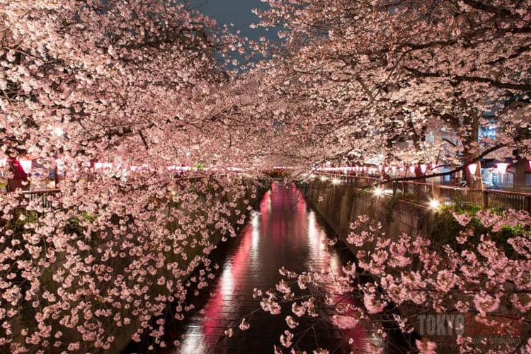 Sông MeguroBốn km chiều dài ven sông Meguro là nơi sinh sống của hơn 800 cây hoa anh đào. Vào mùa nở ra, chúng khiến cho khu vực bờ sông có vẻ đẹp say động lòng người. Khu vực này đẹp nhất vào ban đêm, khi các ánh đèn được thắp sáng và là điểm hẹn yêu thích của nhiều người. Ảnh: Tokyo cheapo.