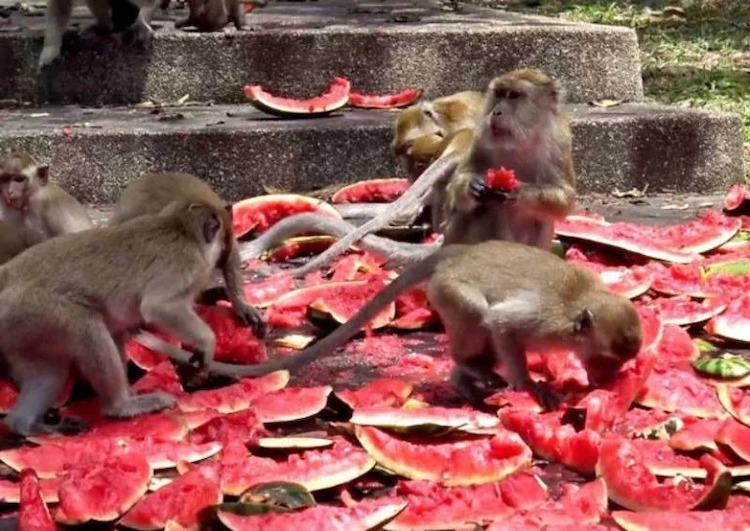 Người địa phương phải quyên góp dưa hấu và cà chua tươi cho đàn khỉ. Ảnh:Asia One.