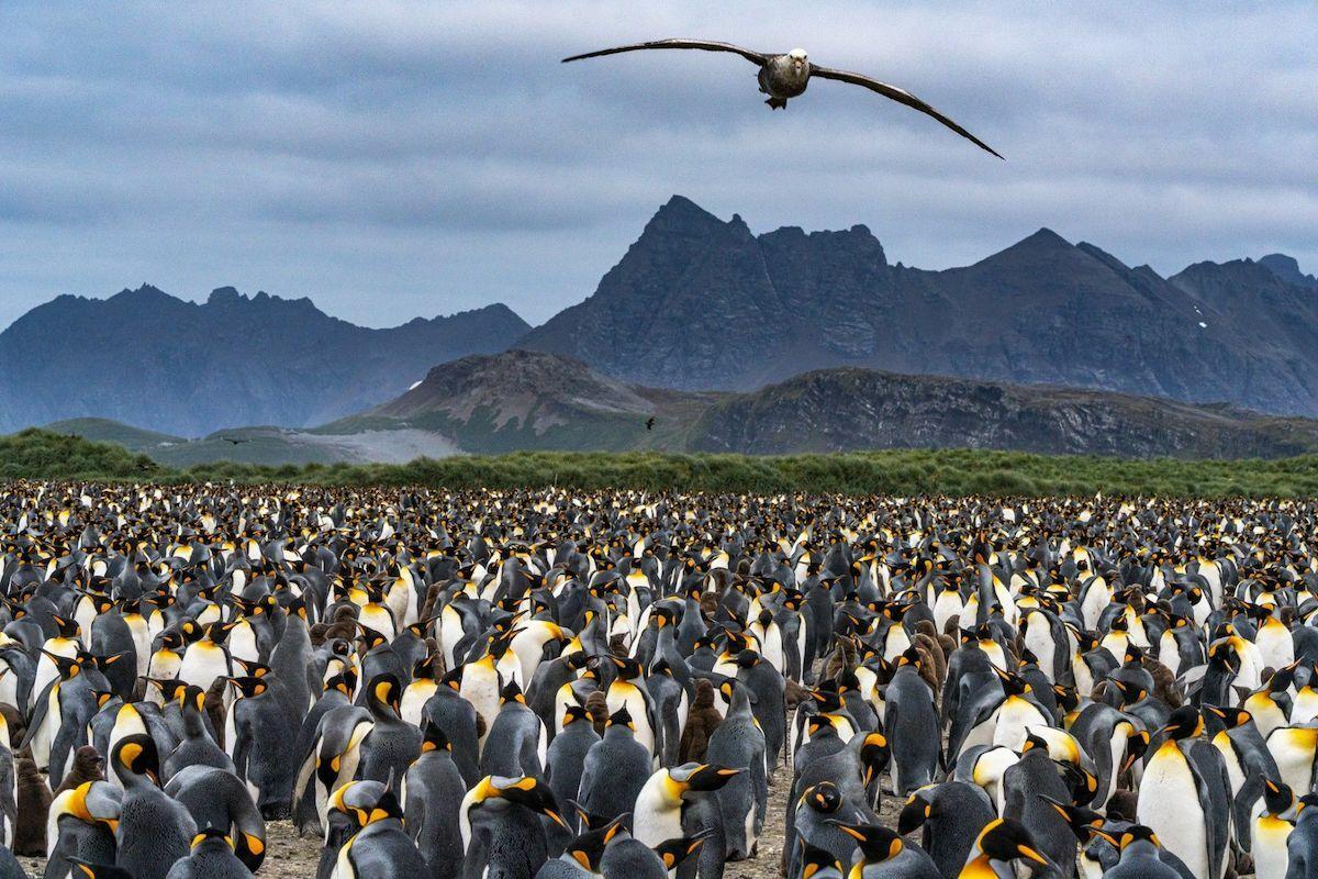 Bình nguyên Salisbury trên đảo Nam Georgia là một trong những lãnh địa lớn nhất của cánh cụt hoàng đế - với khoảng 200.000 cá thể. Ảnh:Pete McBride.