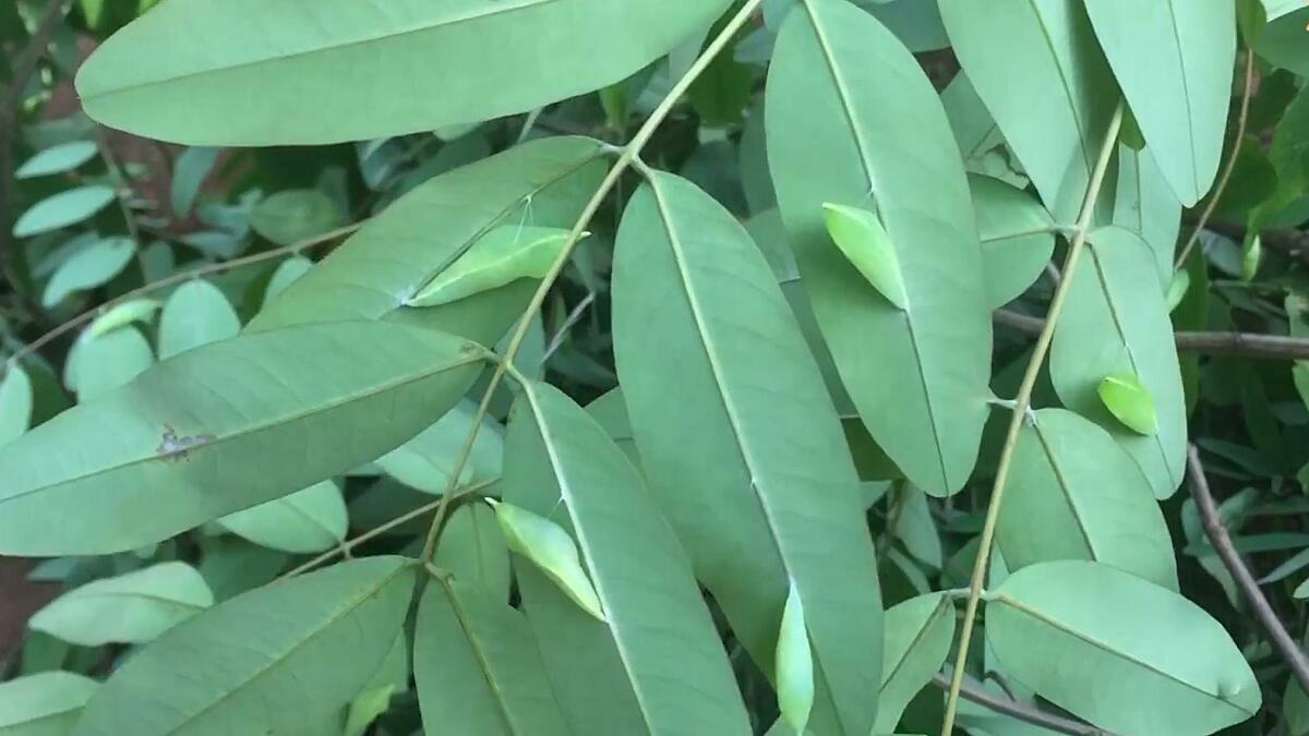 Khi những con nhộng sâu muồng bám đầy trên cành lá là lúc báo hiệu mùa mưa Tây Nguyên sắp đến. Ảnh: Công Lý.