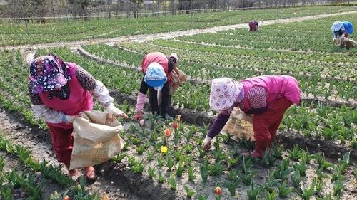 Nhổ một triệu bông tulip để ngăn khách đến