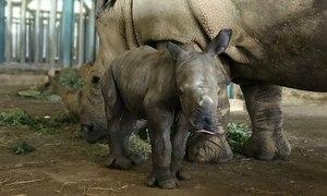 Tê giác ở Phú Quốc sinh con
