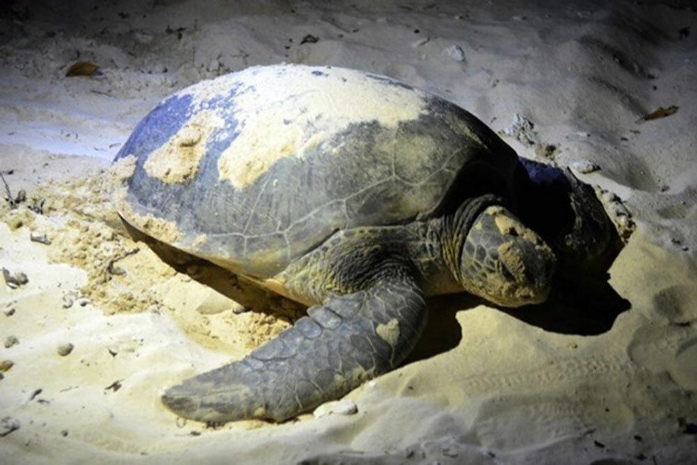 Hòn Bảy Cạnh là nơi rùa về đẻ nhiều nhất, được gọi là trung tâm rùa biển của Việt Nam. Ảnh:NVCC.