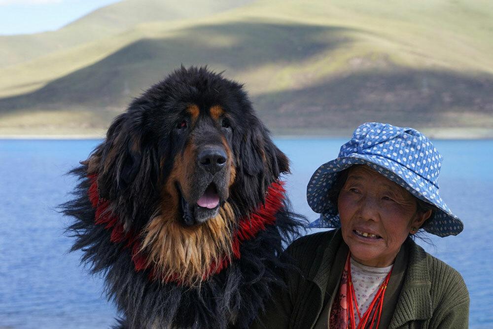 Chó ngao Tây Tạng cùng chủ của mình. Đây là giống chó trung thành của những người du mục Tây Tạng trong hàng ngàn năm. Chúng được nuôi để bảo vệ đàn gia súc khỏi sự tấn công của những động vật săn mồi như sói, báo, gấu và hổ. Ảnh: