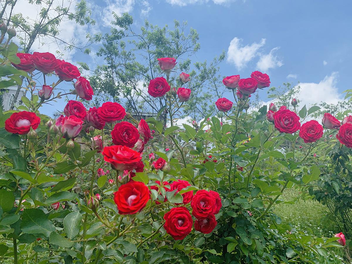Thung lũng có hồng cổ của Sa Pa, Huế, Hải Phòng, Sơn La cho đến hồng Vân Khôi, hồng điều, hồng tố nữ, quế son...