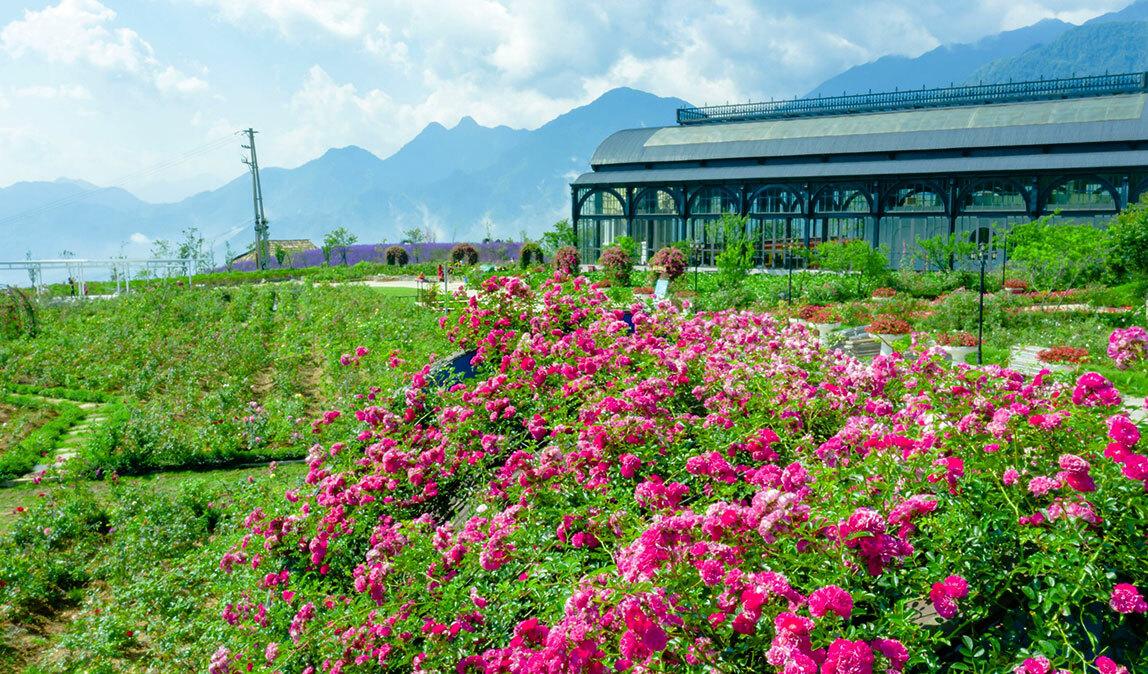 Khu du lịch Fansipan Legend vừa nhận danh hiệu kỷ lục Thung lũng hoa hồng lớn nhất Việt Nam từ tổ chức Kỷ lục Guinness Việt Nam.Thung lũng hoa hồng 50.000 m2 trải dài dọc theo đường tàu hỏa leo núi Mường Hoa từ thị trấn Sa Pa đến khu vực ga đi cáp treo, với hơn 300.000 gốc hồng.