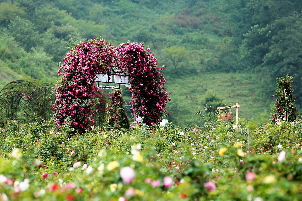 Hơn một năm ươm trồng, hiện thung lũng hội tụ gần như mọi giống hồng cổ được yêu thích nhất tại Việt Nam.