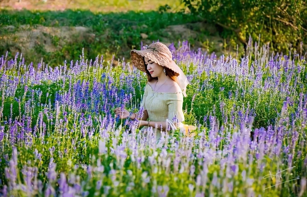 Thảm hoa Nữ hoàng xanh - thuộc họ lavender - được nhiều người trẻ ưa chuộng. Chủ Green Life cho biết hoa hoa tím phủ khắp nông trại và cao gần nửa người, tươi tốt nhất vào cuối tháng 5 và đầu tháng 5.
