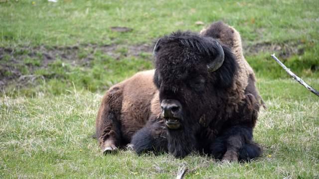 Để an toàn khi ở quanh bò rừng bison, du khách hãy đứng xa ít nhất hơn 22m, tránh đi nếu chúng lại gần và chạy hoặc tìm nơi ẩn nấp nếu chúng đuổi theo. Ảnh: AFP.