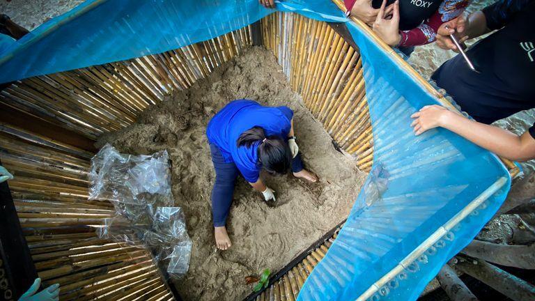 Bác sĩ thú y đào cát để tìm rùa đồi mồi non. Ảnh: Sky News.