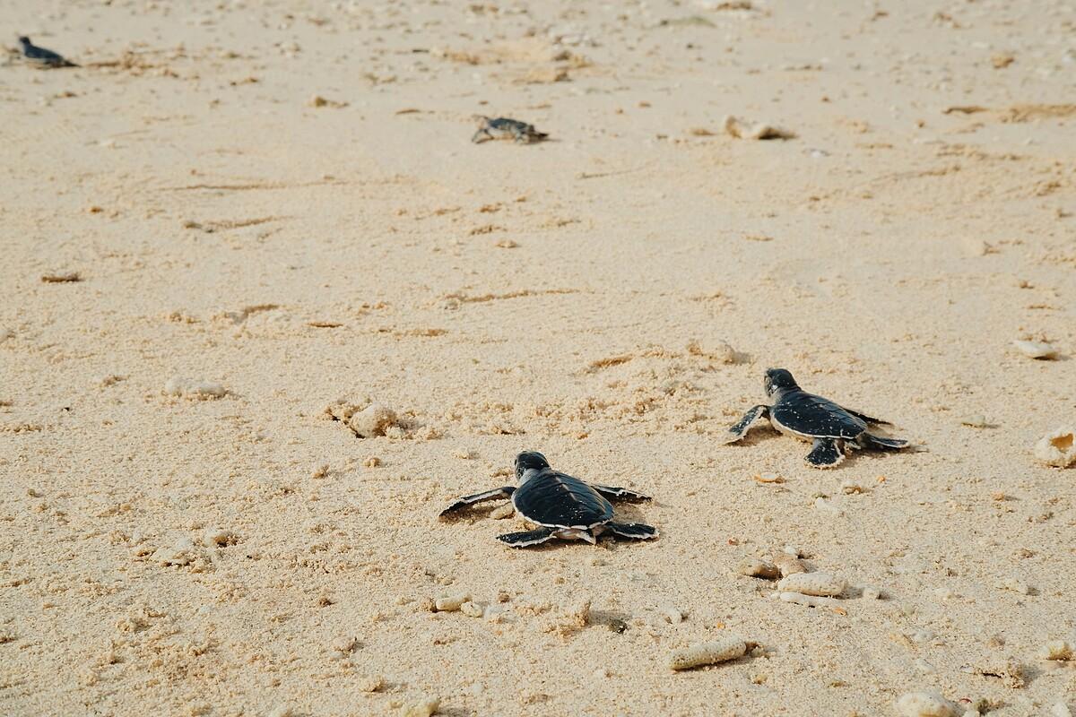 Những chú rùa con về với biển.