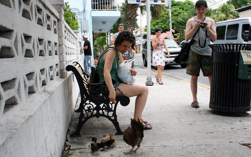 Khách du lịch yêu quý những con gà ở Key West. Ảnh: Ray_Lac.