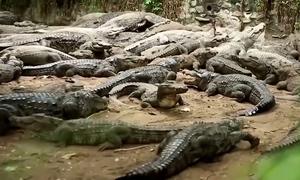 Sở thú lập kênh YouTube kiếm tiền nuôi cá sấu