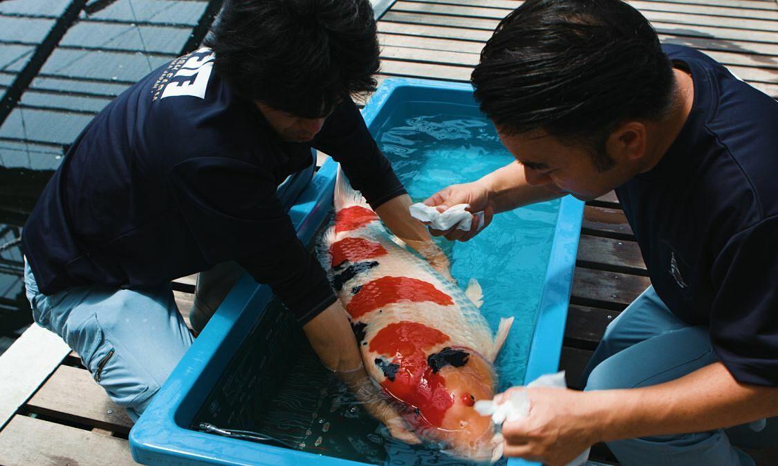 Người nuôi cá koi giá triệu USD