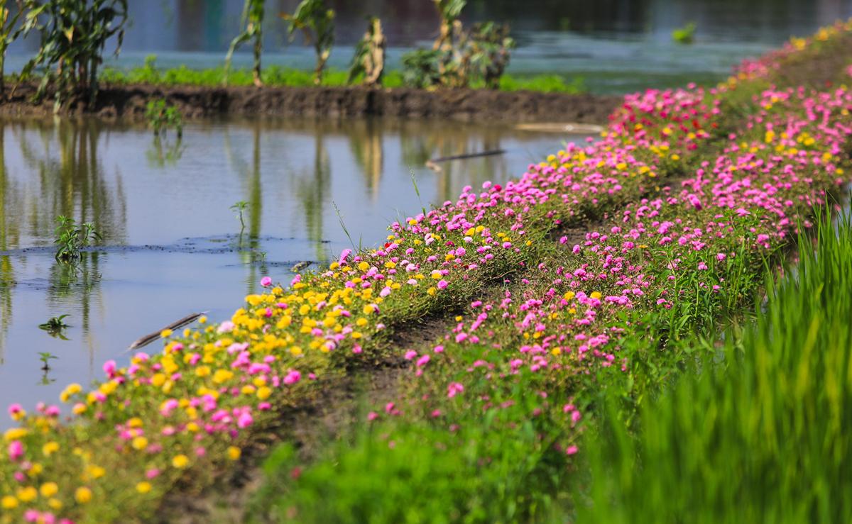 Con đường hoa mười giờ cách Sài Gòn 20 km - 12