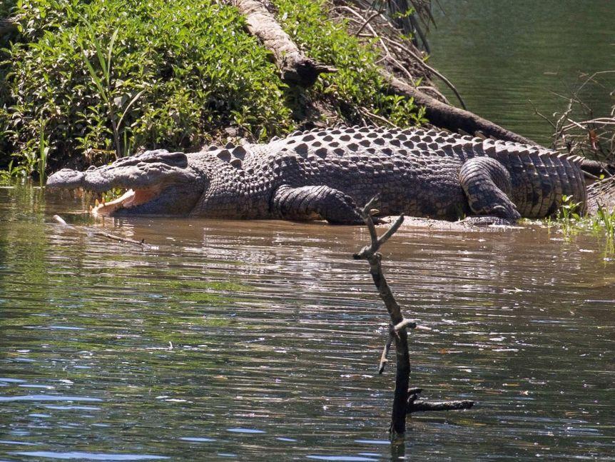 Ngay sau khi xảy ra tai nạn, các nhân viên của QPWS đã liên hệ với phía khách sạn để nắm tình hình. Phía chính quyền tới đảo ngày 25/9 để tìm kiếm con cá sấu. Trong trường hợp tìm thấy, con vật sẽ được đưa đi nơi khác. Ảnh: ABC