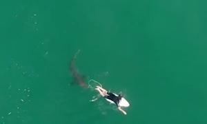 Cá mập bơi sát chân khách lướt sóng