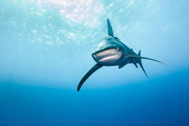 Dù hiếm gặp, các vụ cắn người của cá mập tại biển Đỏ từng khiến một du khách thiệt mạng, một số khác bị thương vào năm 2010. Ảnh: Egypt Independent