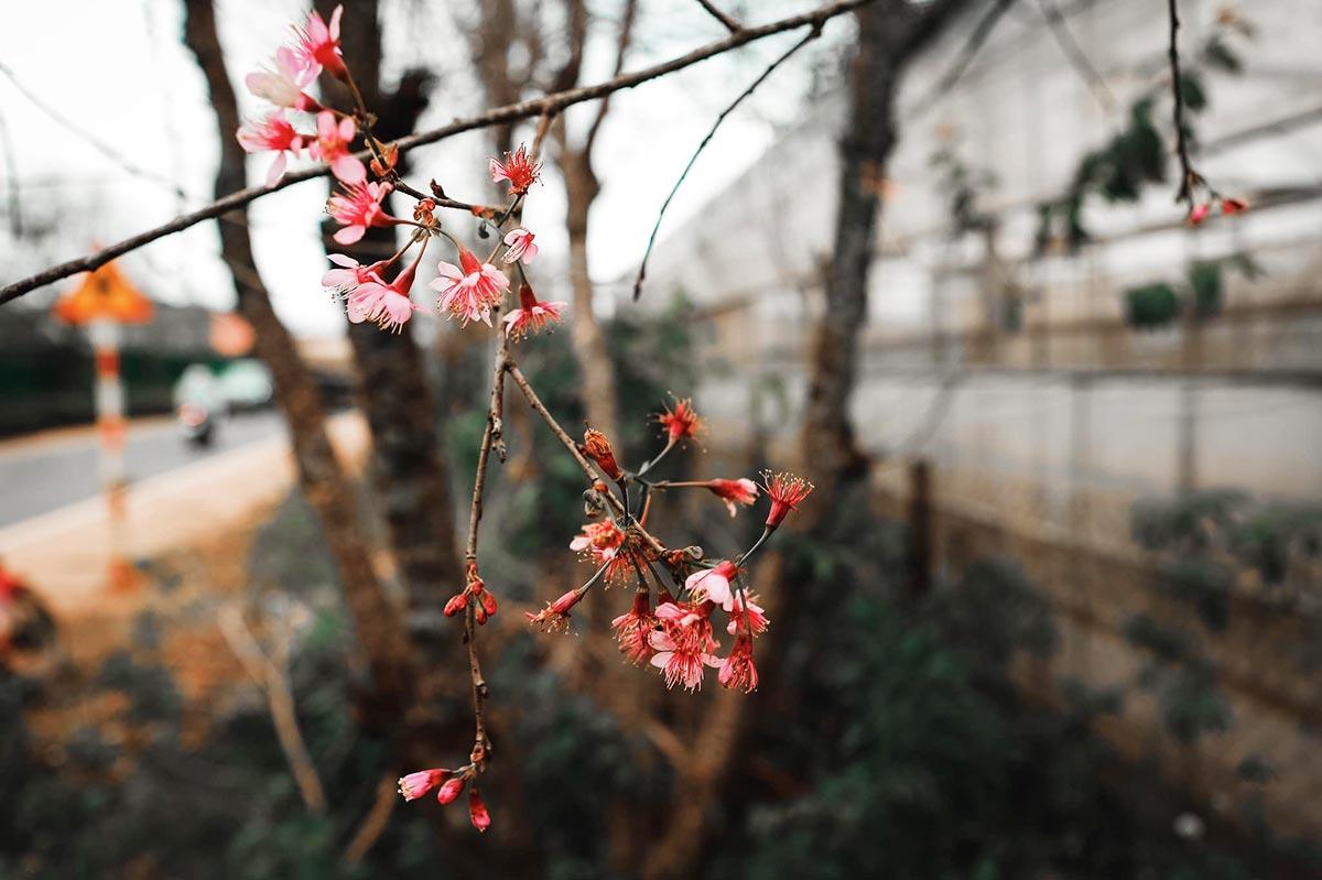 Một số cây mai anh đào ở khúc cua Cây Mai (xã Xuân Thọ) ra hoa vào 6/11. Ảnh: Phạm Kim Nhân