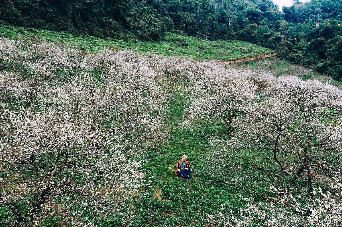 Một góc vườn mận ở thung lũng Mu Náu nở trắng vào đầu tháng 12. Ảnh: Trần Thương