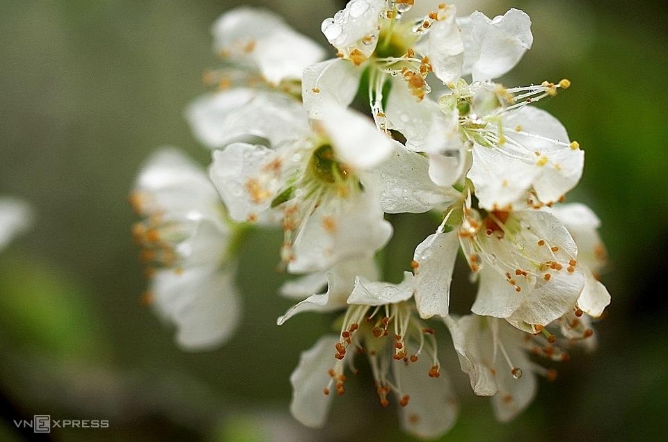 Vẻ đẹp tinh khôi của những chùm hoa mận Mộc Châu. Ảnh: Hương Chi