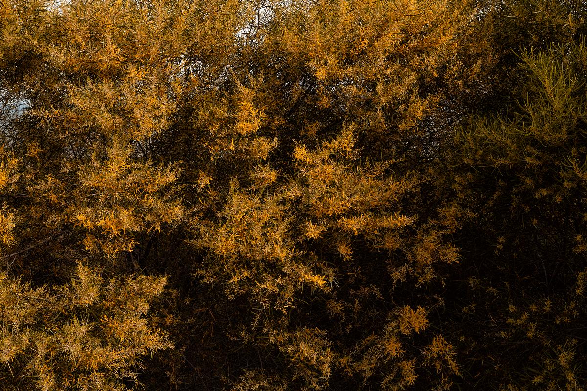Cây keo lá tràm là loài cây mọc dại có dáng thấp có khả năng chịu hạn tốt. Hoa nở có hình giống đuôi sóc, màu vàng tươi, mọc thành từng chùm bắt mắt.
