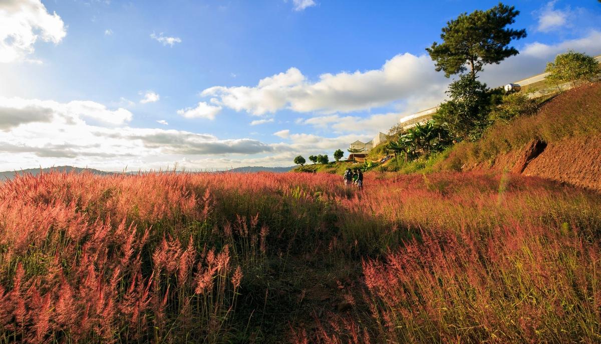 Đồi cỏ hồng thường bị nhầm lẫn với đồi cỏ lau hồng. Du khách tìm kiếm đổi có đồng thường sẽ ra kết quả đồi cỏ hồng, phường 12 thuộc khu vực Thái Phiên thì đây chính là đồi cỏ lau hồng. Ảnh: Nguyễn Khánh Hoàng