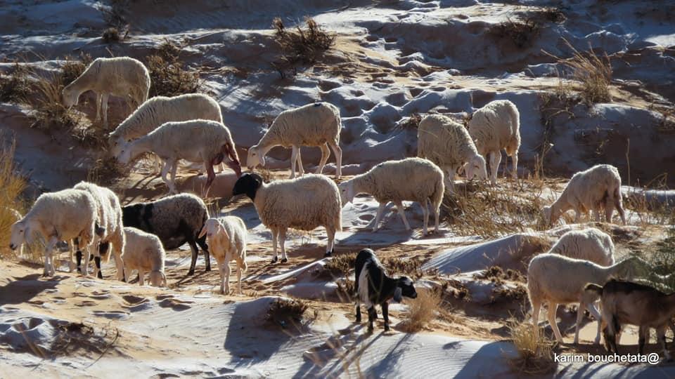 Đàn cừu kiếm ăn trên những đụn cát phủ băng trắng xoá khi nhiệt độ hạ xuống -3 độ C.