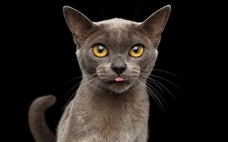 Vào những năm 1930, cả đất nước không có bóng một con mèo thuần chủng giống Myanmar - loại mèo từng được nuôi làm thú cưng của hoàng gia. Vua Thibaw từng nuôi 40 con mèo trong cung điện của mình. Những con mèo mới được du nhập lại gần đây từ Mỹ và ngày nay, số lượng đang tăng dần nhờ chương trình nhân giống của Inthar Heritage House trên hồ Inle. Ảnh: Serendipity