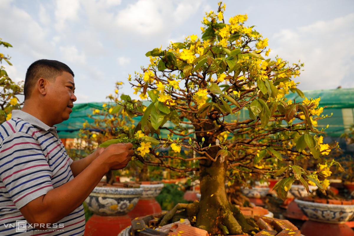 Hoa mai được ưa chuộng ở miền Nam vì phù hợp với khí hậu, ra hoa đúng dịp cận Tết. Ảnh: Hữu Khoa.