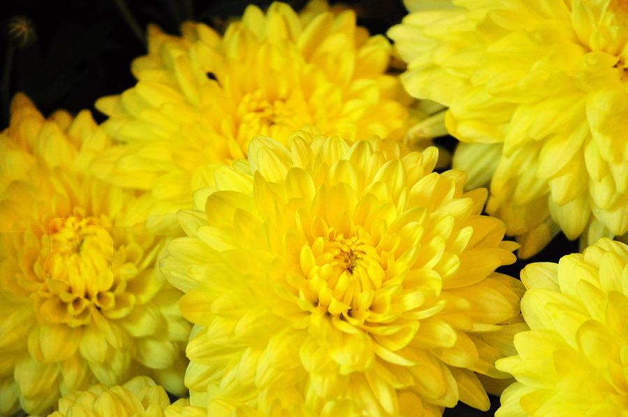Hoa cúcHoa cúc vàng và các loại hoa màu trắng thường được người dân địa phương dùng trong đám tang. Vì vậy, nếu bạn muốn tặng ai đó hoa vào dịp năm mới, hãy nên trắng những màu sắc này. Trong văn hóa của người dân Trung Quốc, màu trắng tượng trưng cho sự tang tóc. Ảnh: Unslaph