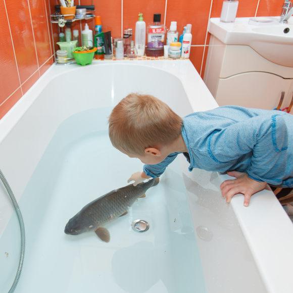 Người dân Slovakia nuôi cá chép trong bồn tắm một ngày trước lễ giáng sinh để chúng sạch sẽ trước khi ăn. Ảnh: Rades/Shutterstock.