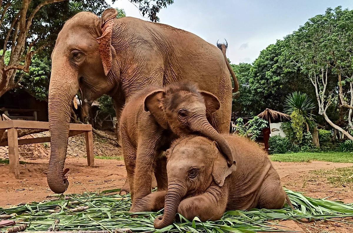 Những con voi ở trang trại Patara Elephant tại Chiang Mai. Ảnh: Ron Emmons/SCMP