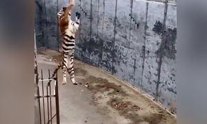 Khách Trung Quốc thả gà sống vào chuồng hổ