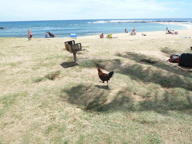 Key West không phải hòn đảo duy nhất lũ gà hoang xâm chiếm ở Mỹ. Đảo Kauai (ảnh) hay Bermuda (lãnh thổ hải ngoại của Anh cho Mỹ mượn) cũng trong tình trạng tương tự. Ảnh: Fuzzy Gerdes.