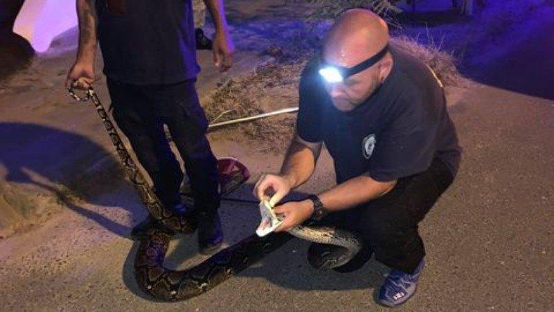 Con trăn đã được đội cứu hộ đưa đi. Ảnh: Phuket News
